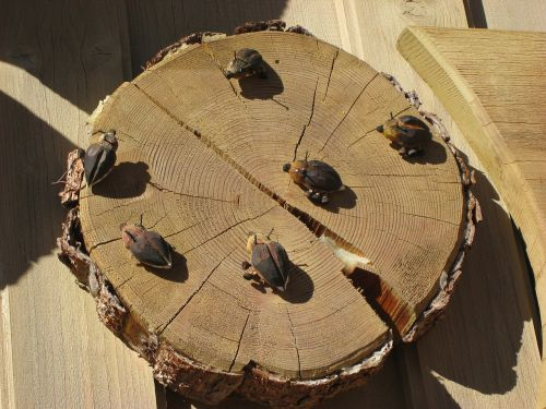 wood beetle deco