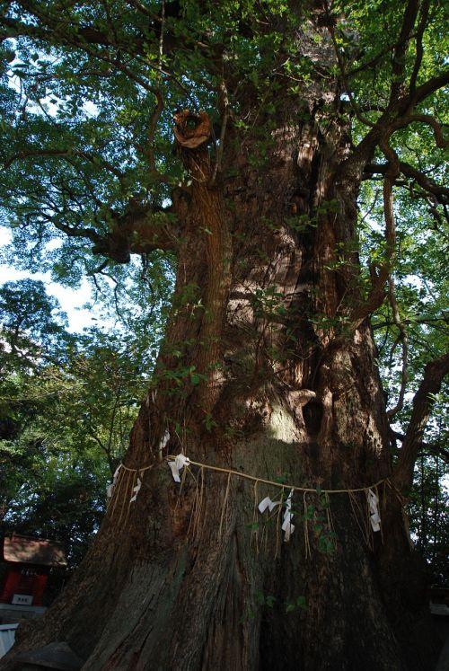 wood camphor tree sacred tree