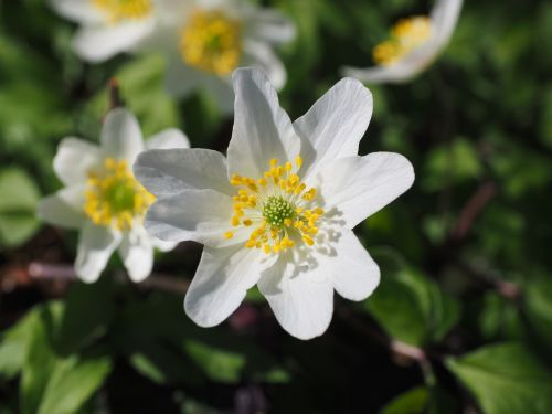 wood anemone blossom bloom