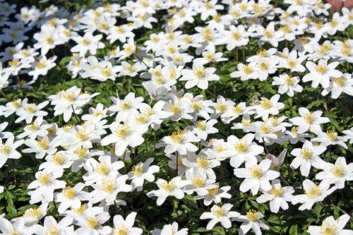 wood anemone flower forest