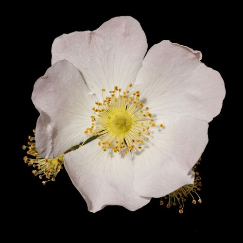 wood anemone anemone nemorosa hahnenfußgewächs