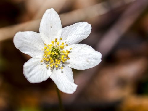 wood anemone anemone flower
