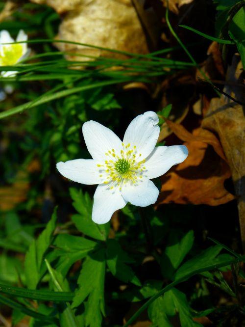 wood anemone anemone nature
