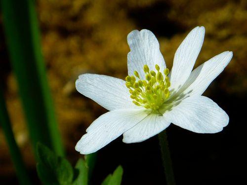 wood anemone spring flower