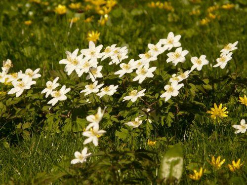 wood anemone anemone hahnenfußgewächs