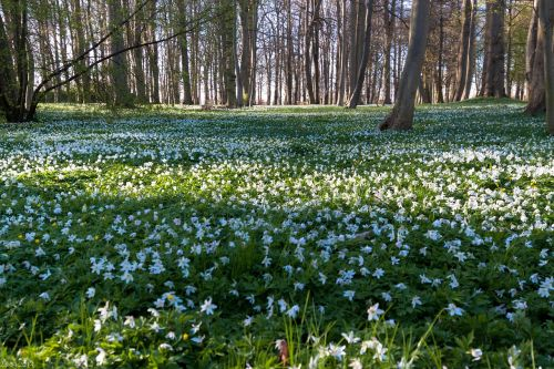 wood anemone flower meadow forest
