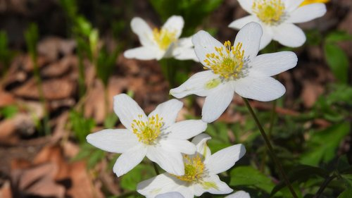 wood anemone  flowers  anemone nemorosa