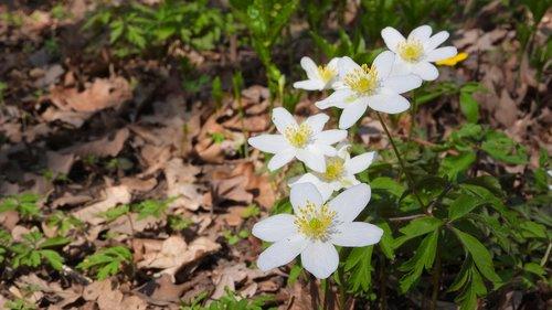 wood anemone  anemone nemorosa  anemone