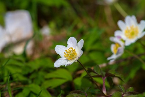 wood anemone  flower  nature