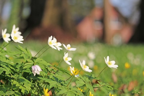 wood anemone  forest flower  white