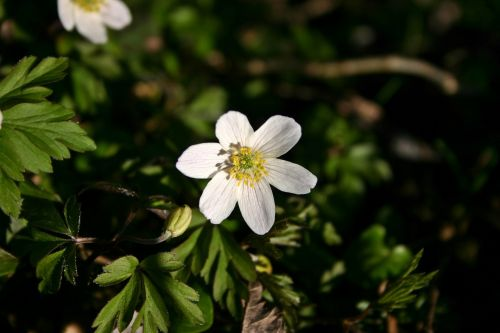 wood anemone flower blossom