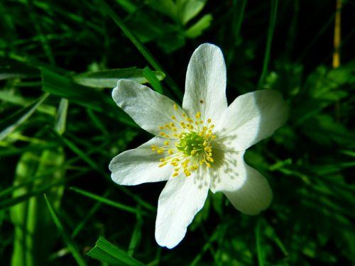 wood anemone blossom bloom