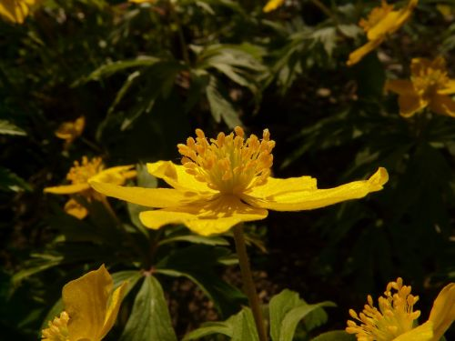 yellow wood anemone anemone ranunculoides hahnenfußgewächs