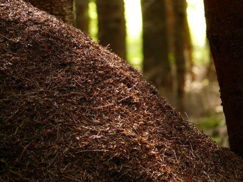 wood ants ants formica