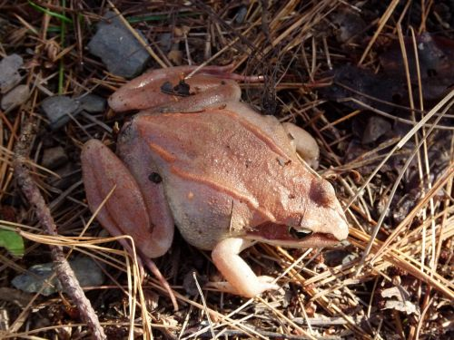 wood frog pink amphibian
