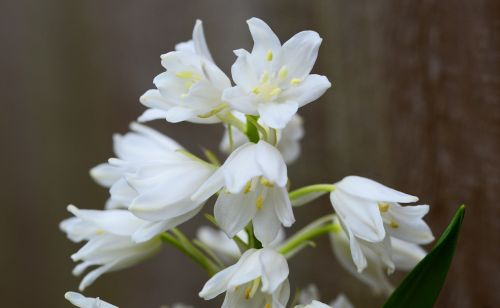 wood hyacinth white bell flower