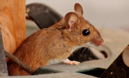 wood mouse nager cute