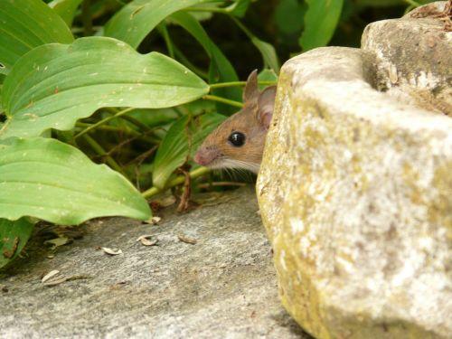 wood mouse apodemus sylvaticus mammal