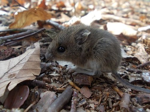 wood mouse mouse rodent