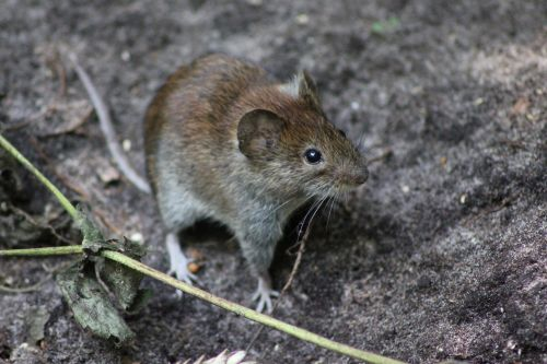 Wood Mouse Side Close Up