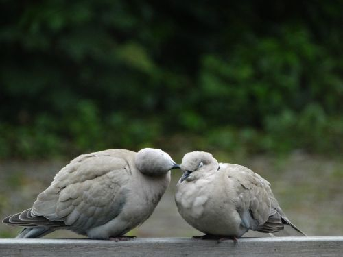 wood pigeon pigeons nature