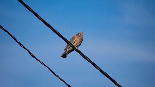 wood pigeon  bird  pigeon