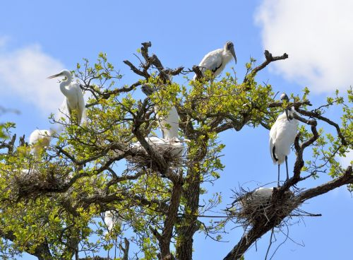 wood stork heron wildlife