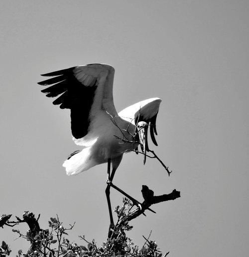 wood stork  wildlife  nature