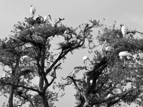 Wood Storks In The Wild
