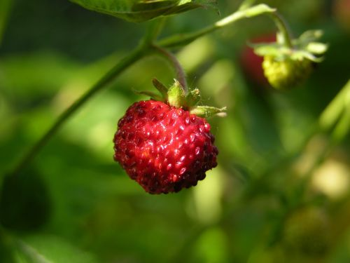 wood strawberry nibble fruits