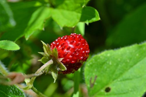wood strawberry strawberry bio