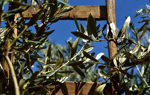 wooden ladder  rung  olive tree