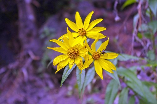 woodland sunflower  flowers  woodland