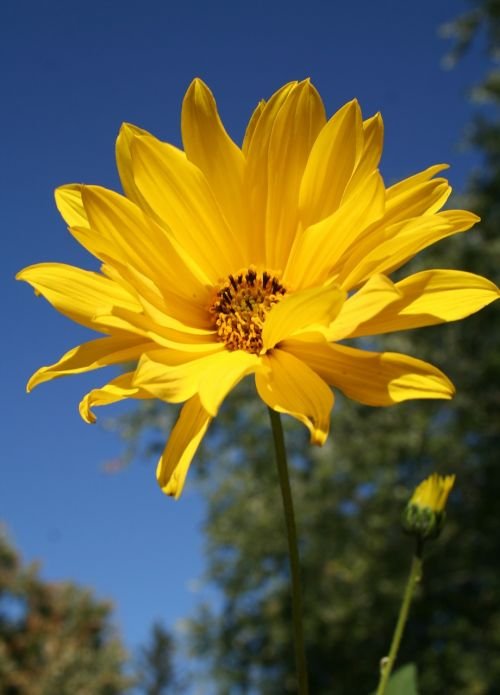 woodland sunflower flower floral