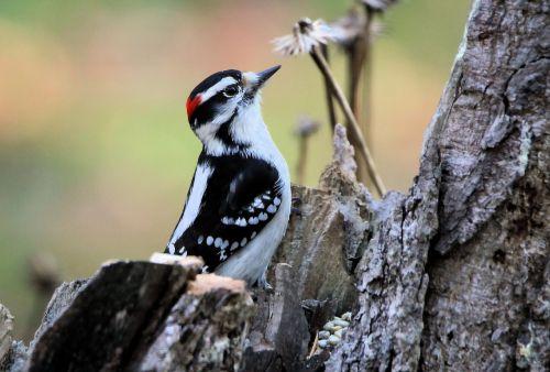 woodpecker downy woodpecker bird