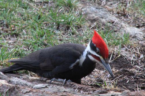 woodpecker outdoors bird