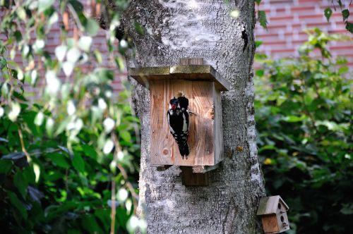 woodpecker nature birch