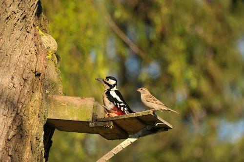 woodpecker great spotted woodpecker sparrow