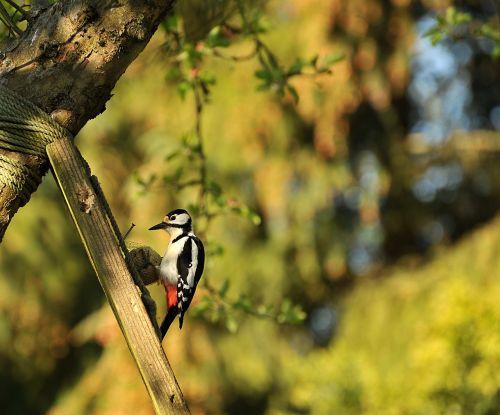 woodpecker great spotted woodpecker bird