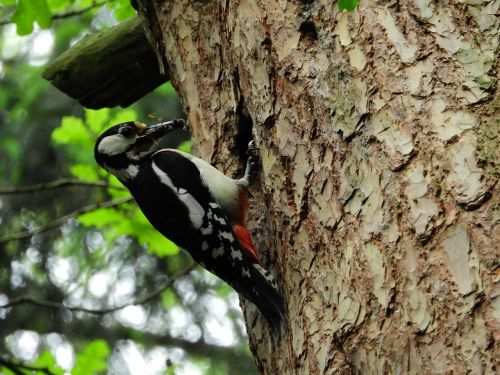 woodpecker forest bird