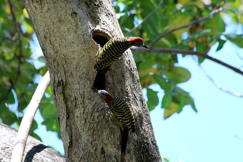 woodpecker  hispaniolan woodpecker  melanerpes striatus