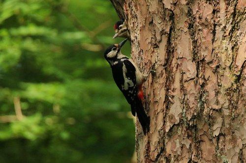 woodpecker  great spotted woodpecker  feeding