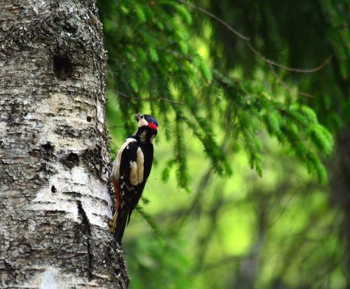 woodpecker  forest  nature