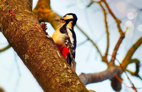 woodpecker  bird  useful