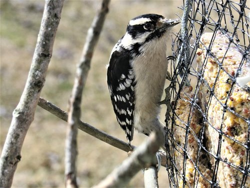 woodpecker  downy  downy woodpecker