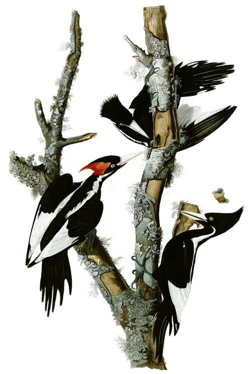 woodpecker mr woodpecker ivory woodpecker