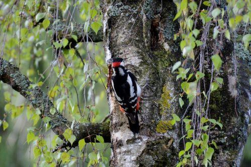 woodpecker bird colorful