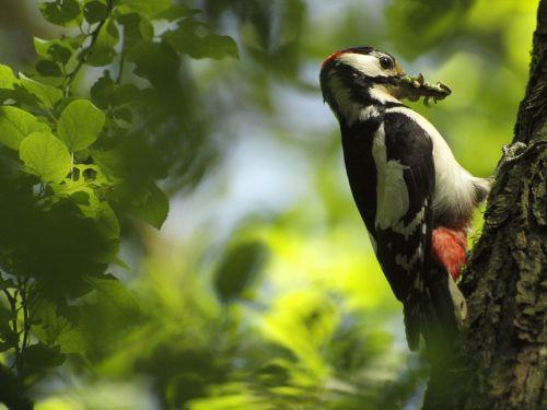 woodpecker tree great spotted woodpecker