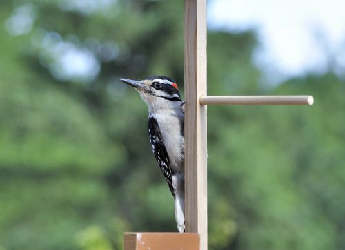 woodpecker bird nature