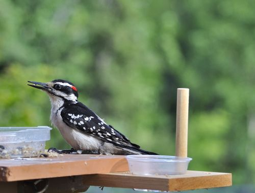 woodpecker bird avian